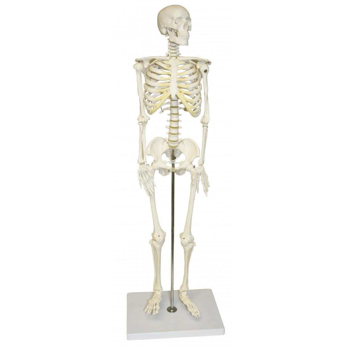 """VAS202 Half Size Human Skeleton- 33"""" (84cm) - Skeleton - Anatomical ..."""