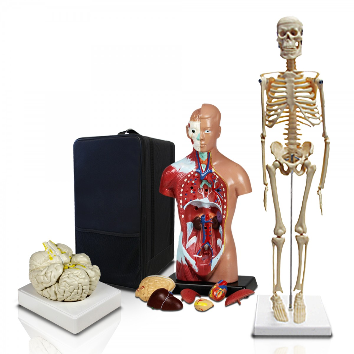 VBM-B2 Elementary and High School Learning Package  Set of Three Human  Anatomy Models, Skeleton, Torso and Brain with Carrying Case
