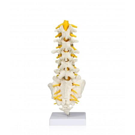 VAV262 Lumbar Spinal Column