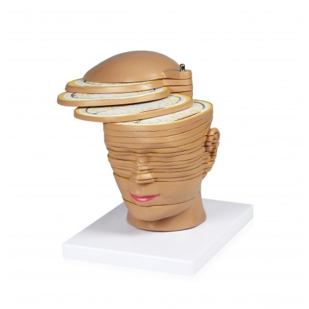 VAH468 Head and Brain Horizontal Slides Model