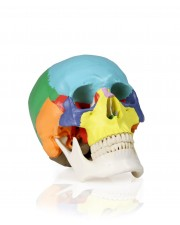 VAL218 Colored Human Skull