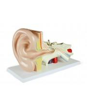 VAE402-AN Ear Model, 3 Parts, 3x Size
