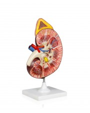 VAU458 Kidney Model w/Adrenal Gland - 3X