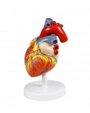 VAC438-N Heart Model - 2X, 4 Parts