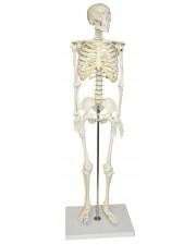 "VAS202 Half Size Human Skeleton- 33"" (84cm)"