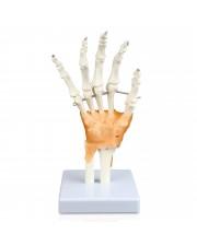 VAJ239 Hand Bone Model with Ligaments
