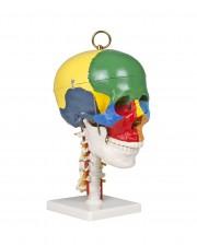 VAL243 Didactic Skull on Cervical Spine