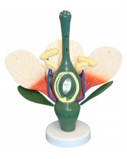 VAN307 Dicot Flower Model