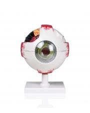 VAE413 Eye Model - 4X, 7 Parts
