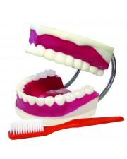 VAE416 Teeth Model With Brush, Large Model