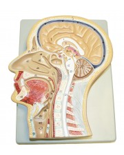 VAH419 Sagittal Section of the Head