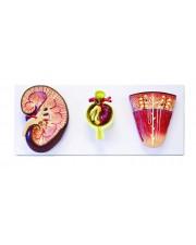VAU428 Kidney, Nephron, and Glomerulus