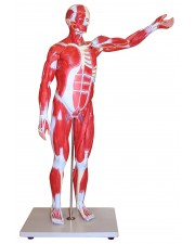 VAM433 Muscular Figure - 85cm Model, 27 Parts
