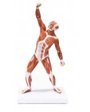 VAM436 Muscular Figure - 50cm