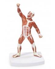 VAM437 Muscular Figure - 20cm Model