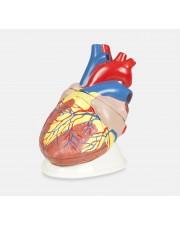 VAC471Jumbo Heart Model - 5X, 3 Parts