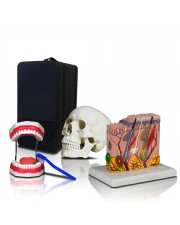 VBM-B1 Elementary and High School Learning Package. Set of Three Human Anatomy Models, Teeth, Skull and Skin with Carrying Case