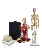 VBM-B2 Elementary and High School Learning Package. Set of Three Human Anatomy Models, Skeleton, Torso and Brain with Carrying Case